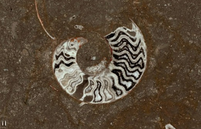 Mármore Grande Fossile